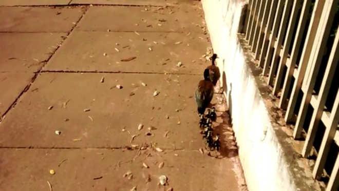 Morador flagra família de marrecos 'passeando' em avenida de Cuiabá, MT