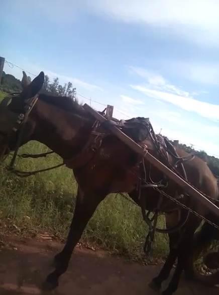 Vídeo: Flagrante de maus-tratos a mula em Rondonópolis, MT