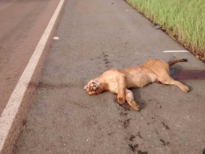 Onça parda morre após ser atropelada em rodovia de Várzea Grande, MT