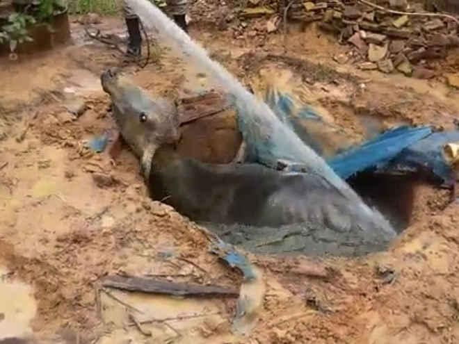 Bombeiros resgatam vaca de 200 kg que caiu em fossa desativada em MT