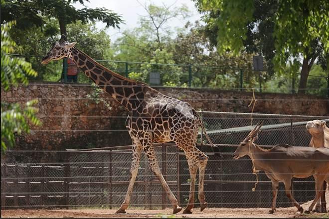 Morte de girafa em zoológico mexicano será investigada