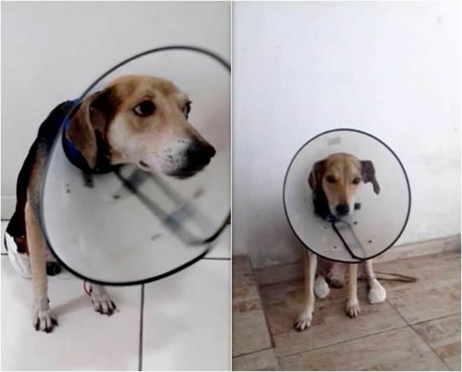 Cãozinho com as patas 'amputadas' é adotado por família em Teresina, PI