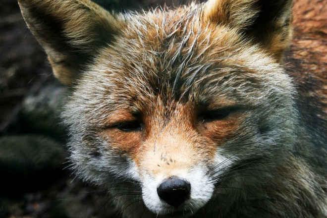 Caça à raposa inflama redes sociais