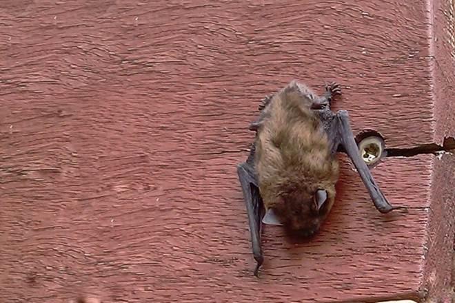 Quatro morcegos foram encontrados caídos esse ano em Araucária, PR