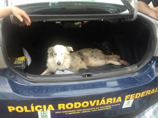 Cachorro é adotado depois de ser atropelado na BR-277, em Curitiba, PR