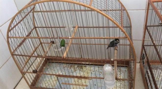 Polícia Ambiental prende dois com aves silvestres e anilhas adulteradas em Maringá, PR