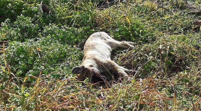 Guarda Nacional investiga morte de cães com veneno em Portugal