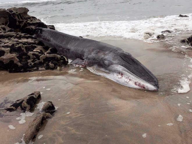 Baleia-comum bebé morre em praia de Viana do Castelo, Portugal