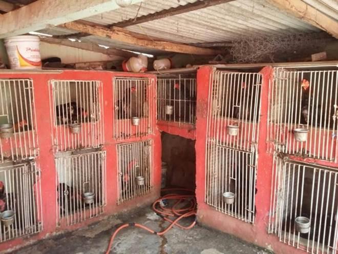 PM recupera cerca de 30 galos usados em rinhas em Bom Jesus do Itabapoana, RJ