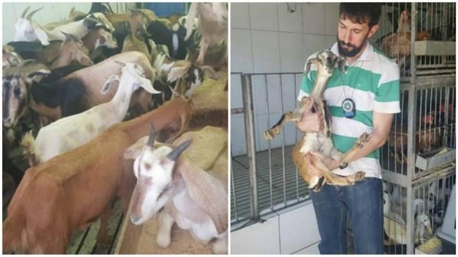 Polícia Civil resgata 500 animais que serviriam para rituais religiosos e alimentação no RJ