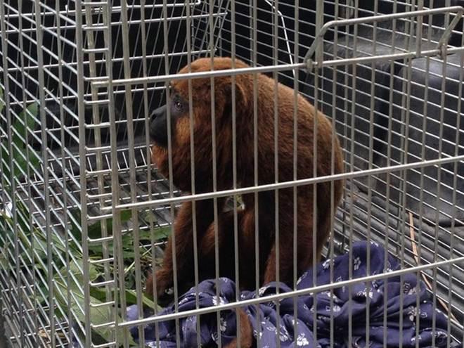 Após captura, macaco bugio será solto em área de Mata Atlântica no RJ