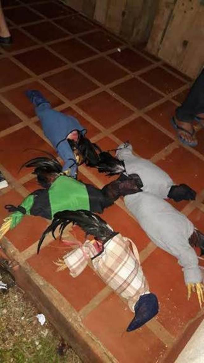 Brigada Militar prende 33 pessoas e apreende 17 galos 'de rinha' em São Miguel das Missões, RS