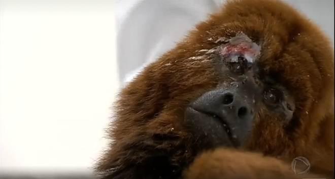 Por medo da febre amarela, moradores atacam macacos bugios no Rio Grande do Sul