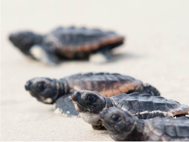 Tartarugas-marinhas: saiba como proteger esses animais durante a temporada de verão