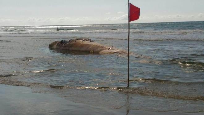 Baleia aparece morta na orla de Jaguaruna, no Sul de Santa Catarina