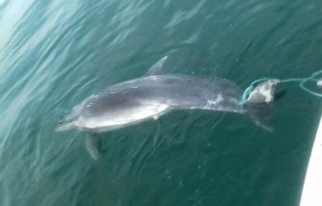 Boto é encontrado morto em ilha de Laguna, no Sul de Santa Catarina