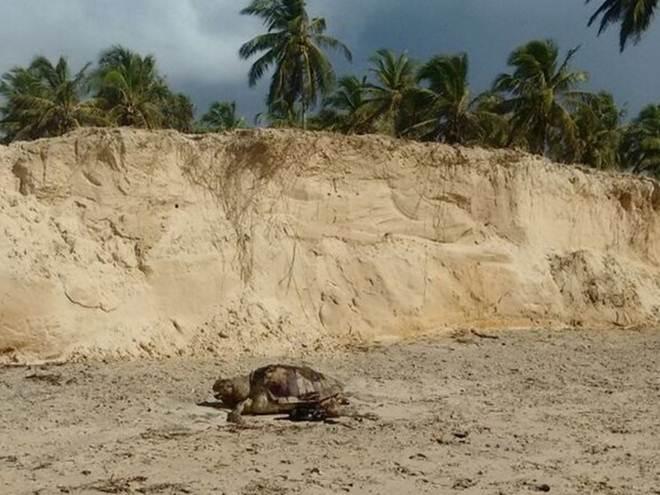Em oito dias, ONG registra 106 mortes de tartarugas-marinhas