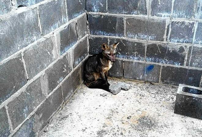 GCM resgata cachorro do mato no Jardim Paraíso, em Botucatu, SP