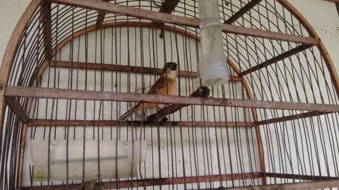 Polícia Militar Ambiental resgata pássaros mantidos ilegalmente em cativeiro em Paraguaçu Paulista, SP