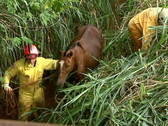 Égua prenha é resgatada após cair em córrego em Ribeirão Preto, SP
