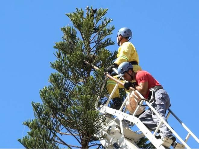 Gato sobe no topo de árvore de 20m e bombeiros fazem resgate; assista