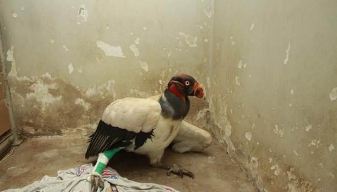 Urubu-rei é o quinto animal a morrer após ataque a zoológico em São José do Rio Preto, SP