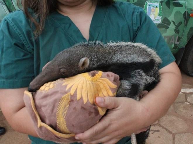 Campanha arrecada bichos de pelúcia para filhotes de animais silvestres em Araguaína, TO