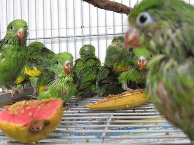 Aves traficadas para São Paulo são apreendidas e devolvidas ao TO