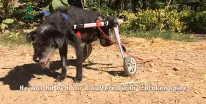 Cão deficiente aprende a correr novamente graças à incansável dedicação de equipe do abrigo