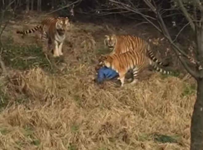 Homem morre ao ser atacado por um tigre em zoológico chinês; vídeo