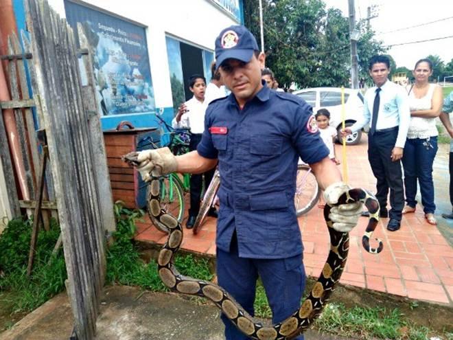 Jiboia de 2,20 metros é capturada em quintal de casa, em Sena Madureira, AC