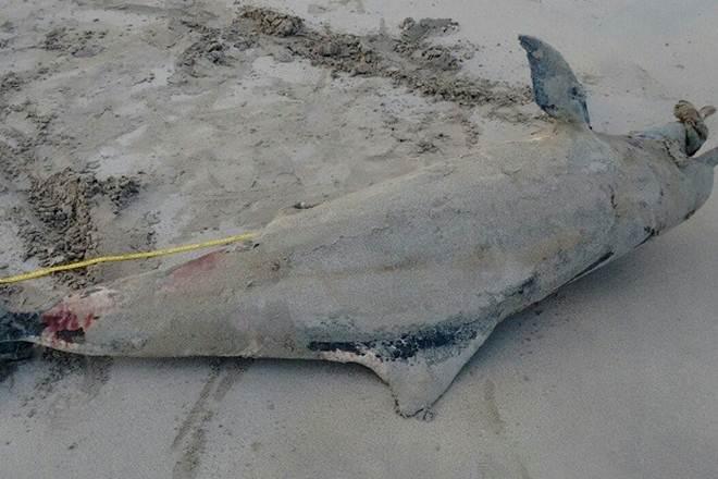 Dois golfinhos e uma tartaruga são achados mortos em praias de Maceió, AL