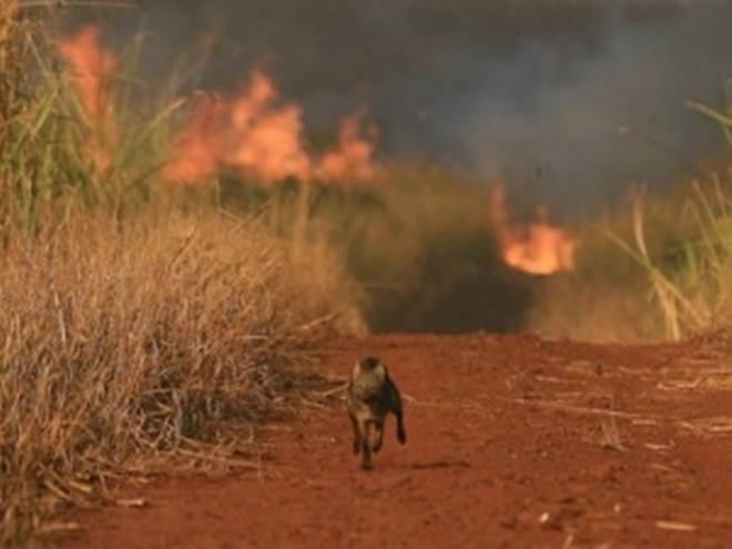 Espécies de animais podem ser extintas devido a incêndios em vegetações em AL