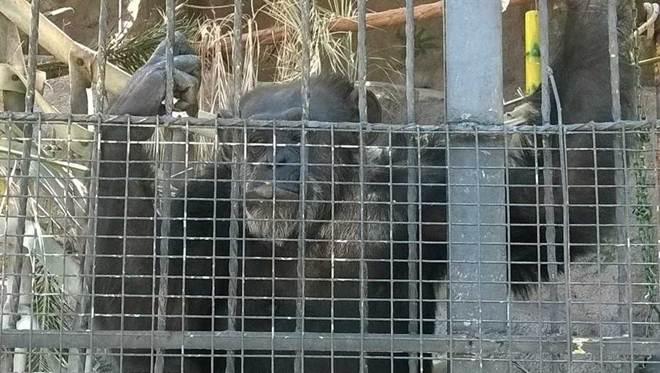 Nova decisão judicial suspende o traslado da chimpanzé Cecilia