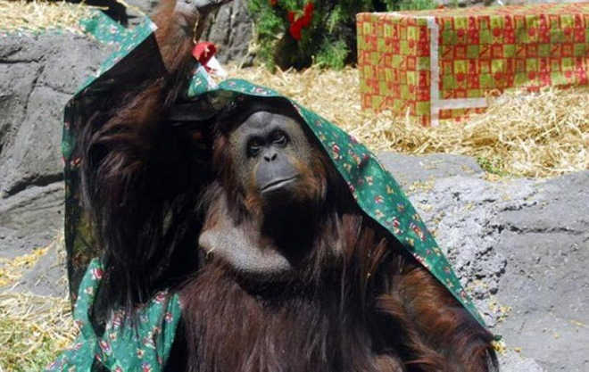 Os advogados da orangotango Sandra conseguiram outra vitória judicial na Argentina