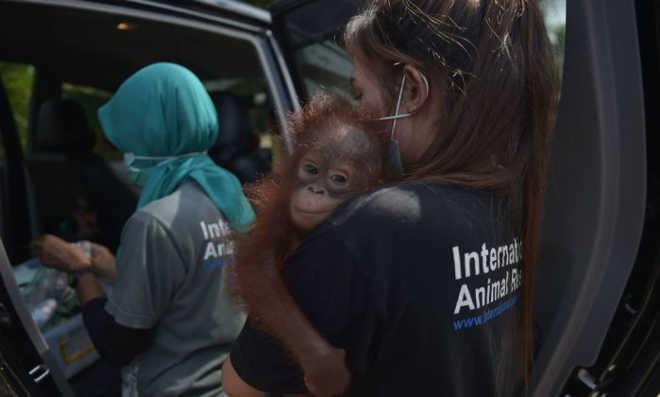 Bebê orangotango é salvo de se tornar animal de estimação