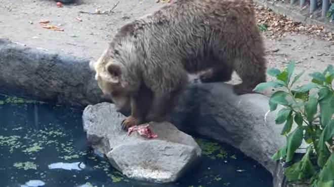 Incrível! Urso salva corvo de afogamento