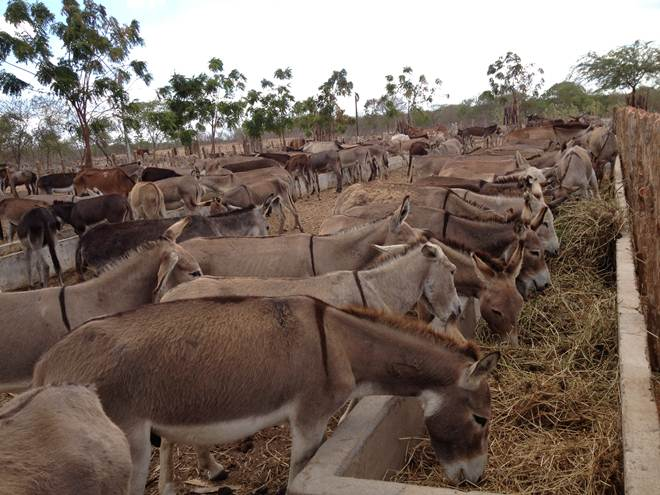 Cascavel (CE) receberá corrida de jumentos, para conscientizar sobre abandono de animais
