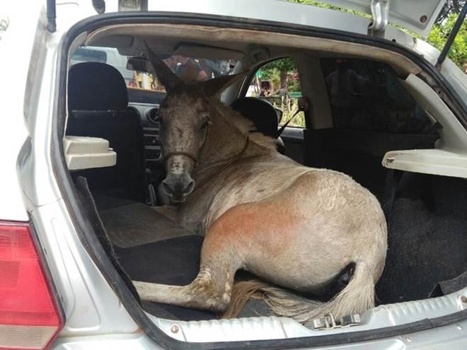 Cinco são detidos por furto de burro e maus-tratos a animal levado em carro em Serra do Lajeiro, CE
