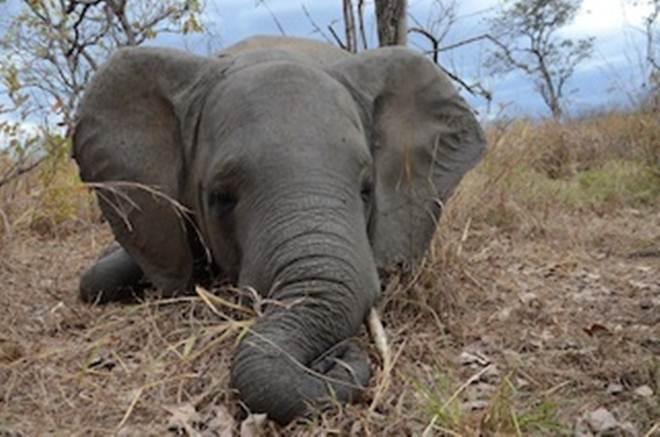 Marfim apreendido no Camboja é de elefantes de Moçambique