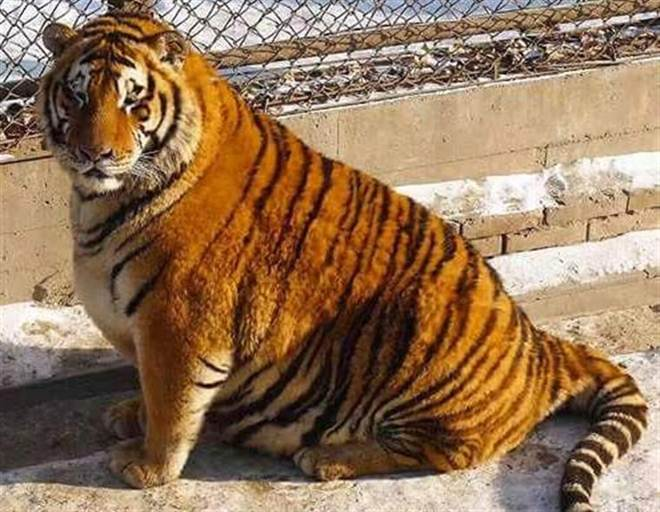 Animais obesos em zoo geram preocupação