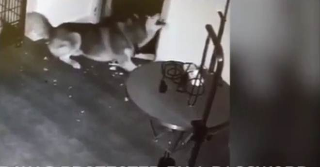 China: Cão consegue escapar da jaula e salva outros animais presos