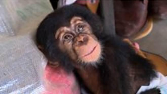 O resgate de bebê chimpanzé órfão que seria vendido como mascote por traficantes