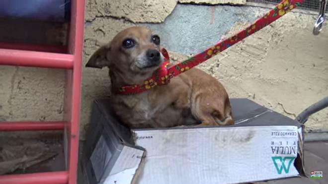 Cachorra com três patas abandonada tentou conquistar sua própria família acampando em uma caixa de papelão – agora ela está a caminho de um verdadeiro lar