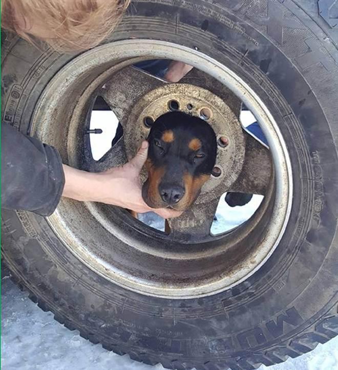 Cão 'curioso' fica com a cabeça entalada em roda nos EUA