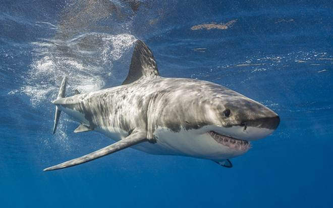 Pescadores arrancam barbatanas e jogam tubarões ainda vivos e sangrando no mar; petição