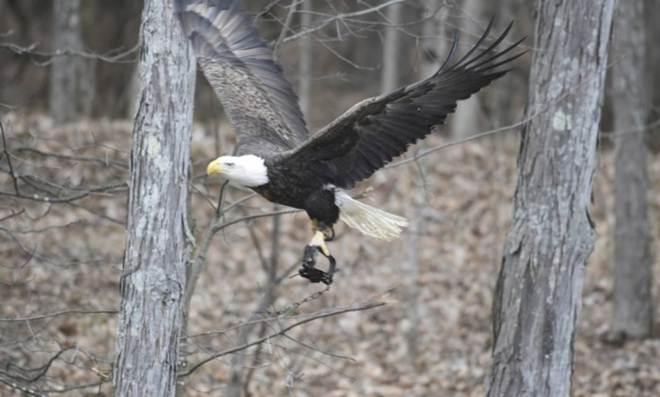 Ativistas buscam águia fotografada com armadilha presa a uma garra
