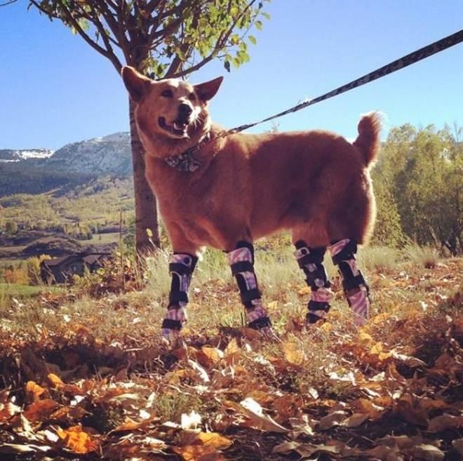Cão que perdeu suas patas congeladas ganha outras quatro novas