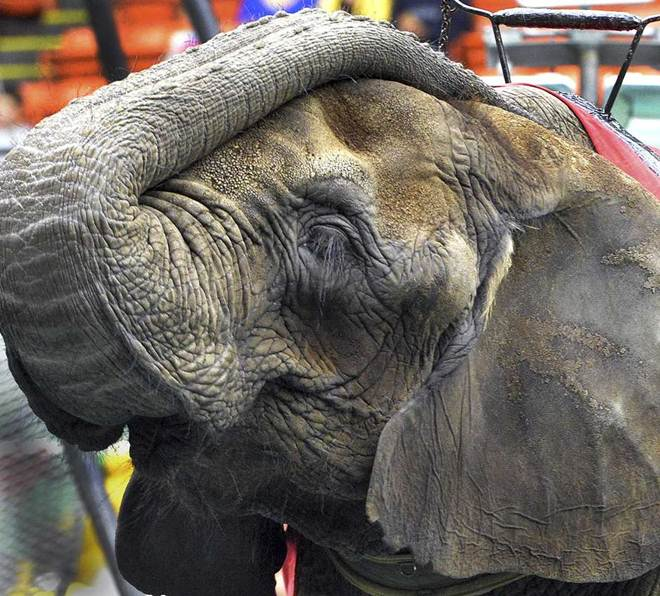 Circo aclamado por deixar de usar animais começa a usá-los de novo