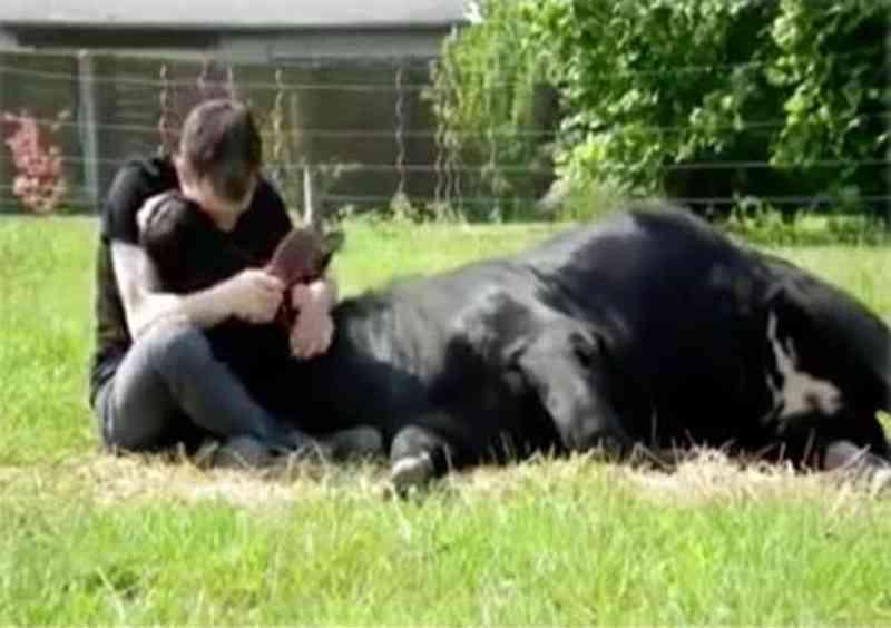 Homem compra touro bravo para salvá-lo das touradas e tem uma surpresa